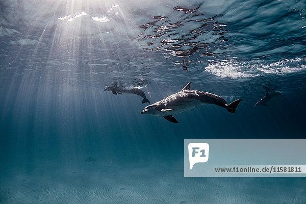 Unterwasser-Ansicht von oberflächennah schwimmenden Delfinen