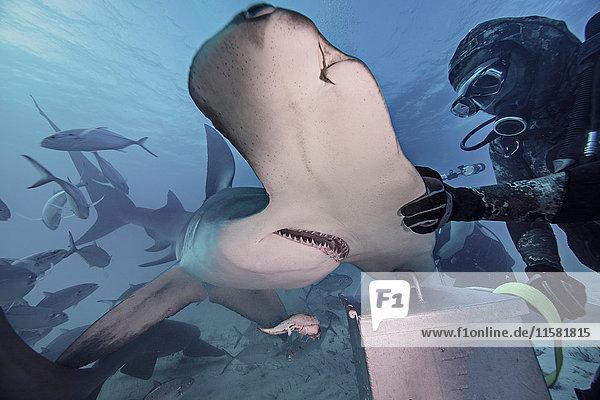 Unterwasseransicht eines Tauchers mit Hand auf Hammerhai