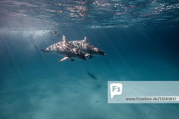 Unterwasseraufnahme eines Tauchers  der Delfinen folgt