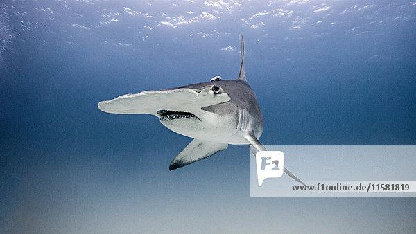 Unterwasser-Porträt eines Hammerhais
