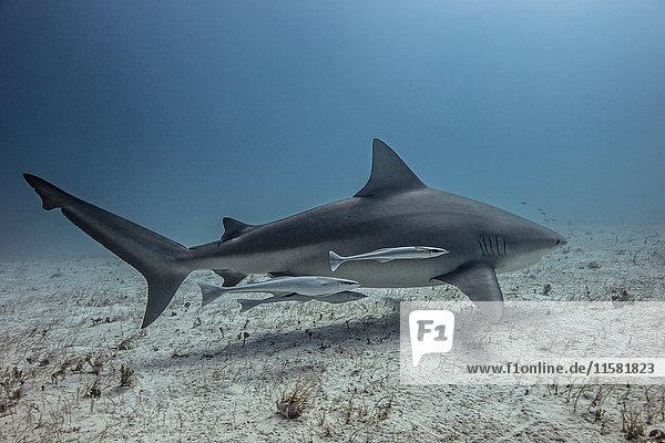 Unterwasser-Ansicht von Haien  die in der Nähe des Meeresbodens schwimmen