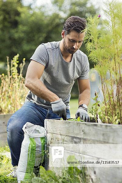 Mittlerer Erwachsener Mann beim Pflanzen im Gemeinschaftsgarten