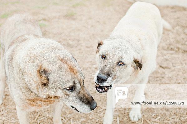 Zwei Hunde auf einem Bauernhof