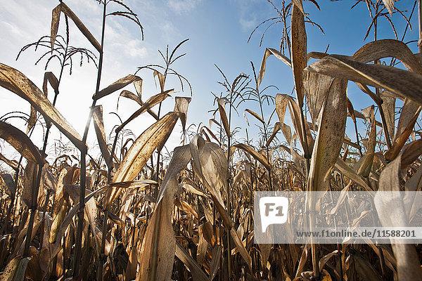 Getreidehalme im Feld gegen blauen Himmel