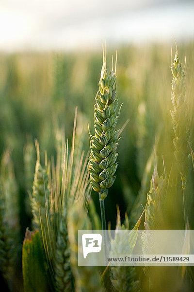 Weizen im Weizenfeld