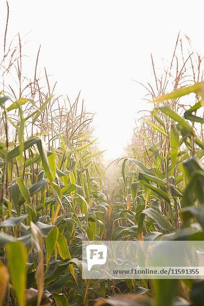 Corn crop in mist