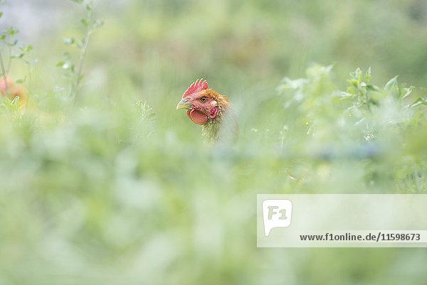 Free range chicken on a meadow
