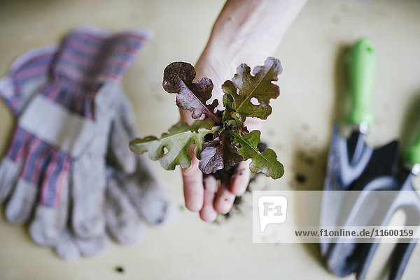 Handsalat zum Anpflanzen