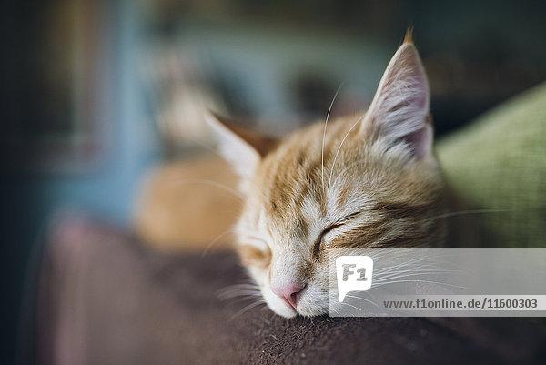 Porträt einer Katze  die auf der Rückenlehne einer Couch schläft. Porträt einer Katze, die auf der Rückenlehne einer Couch schläft.