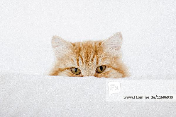 Porträt einer Ingwer-Katze  die sich hinter einem Kissen versteckt. Porträt einer Ingwer-Katze, die sich hinter einem Kissen versteckt.