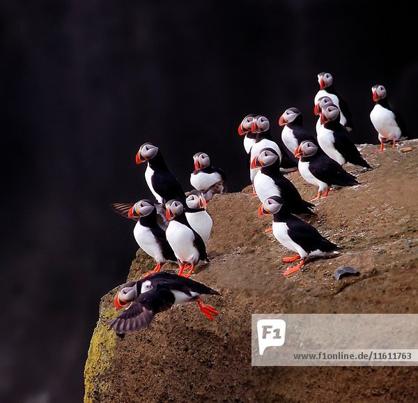 Puffins (Fratercala arctica)  Iceland.
