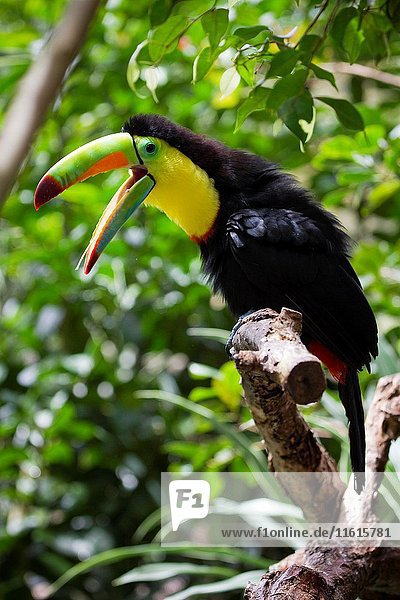 Piquiverde Toucan (Ramphastos sulfuratus) in Waterfall Gardens  near the Poas Volcano National Park. La Paz Waterfall Gardens  Poás Volcano National Park  Alajuela  Costa Rica  Central America  America.