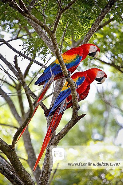 Couple macao macaw (Ara Macao) called 'Lapas Rojas' in Costa Rica  in the wild in a tree near the river Tárcoles. Rio Tarcoles  Costa Rica  Central America  America.