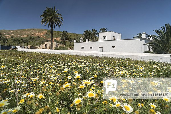 Spring flowers in Haria  Lanzarote  Canary Islands  Spain  Europe