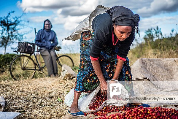 Pickers remove unripe or overripe coffee beans and foreign debris from their daily harvest to prepare it for weighing at the Mubuyu Farm  Zambia.