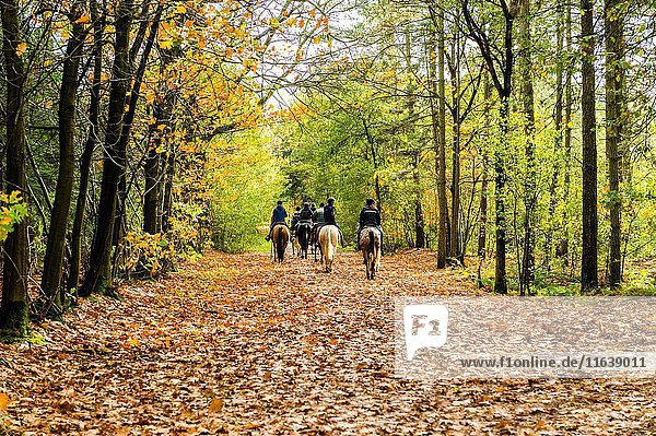 Rucphen - 29-10-2013 - Group of horse riders in the forest in autumn.