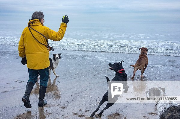 Seaton Carew  north east England. United Kingdom. Mature woman walking dogs on beach in winter throwing ball into the cold North sea with dogs giving chase.