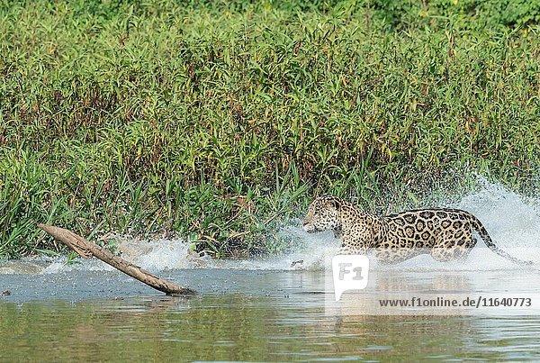Male Jaguar (Panthera onca) running and chasing  Cuiaba river  Pantanal  Mato Grosso  Brazil.