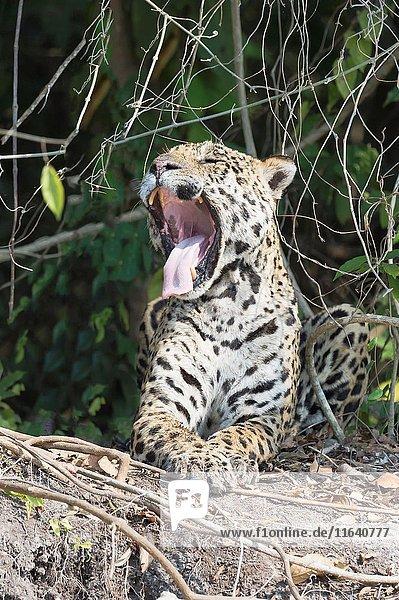 Male Jaguar (Panthera onca) on a riverbank and yawning  Cuiaba river  Pantanal  Mato Grosso  Brazil.