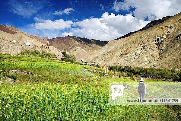 India  Jammu and Kashmir State  Himalaya  Ladakh  Hemis National Park  green barley fields in Rumbak village