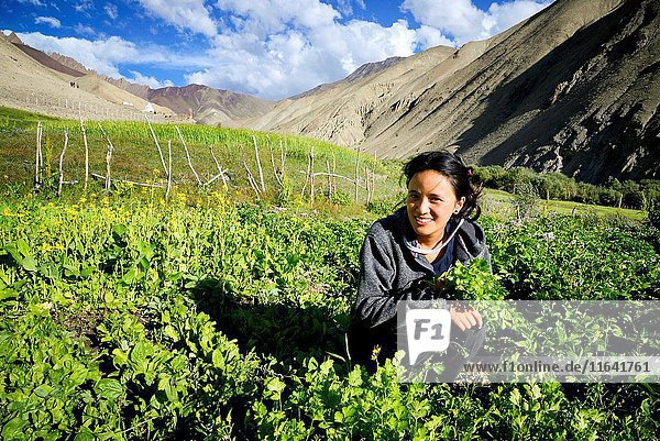 India  Jammu and Kashmir State  Himalaya  Ladakh  Hemis National Park  Rumbak village  young woman working in the fields  Model Released