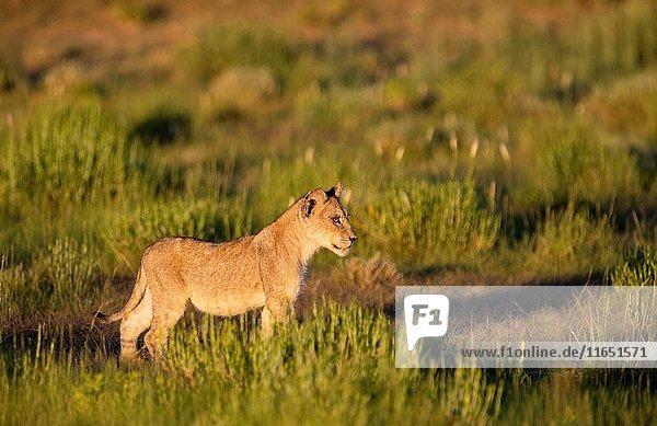 African lion (Panthera leo) - Cub  in the bush  Kgalagadi Transfrontier Park  Kalahari desert  South Africa/Botswana.