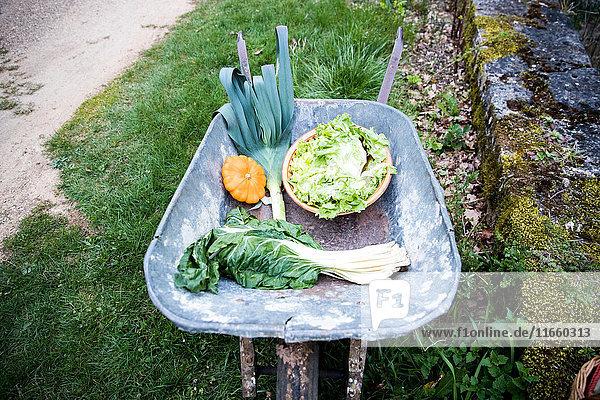 Schubkarre mit frisch gepflücktem Frühlingsgrün und Kürbisgemüse im Garten