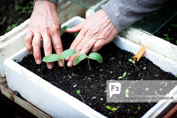 Hände einer Gärtnerin  die Setzlinge im Gewächshaus pflegt
