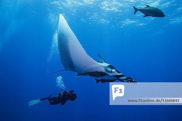 Gerätetaucher beim Schwimmen mit Riesenmantarochen (Manta birostris)  Unterwassersicht  San Benedicto  Kolima  Mexiko