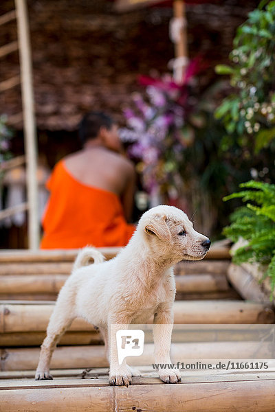 Cute stray dog looking from stairs  Chiang Mai  Thailand