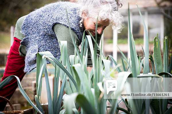 Reife Frau pflegt Lauch im Garten