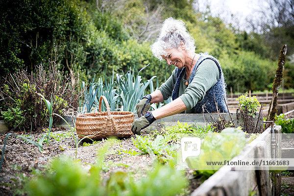 Ältere Gärtnerin pflegt Salat auf Hochbeet