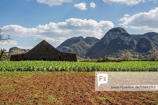 Agricultural field and farm building with mountain landscape  Vinales  Cuba