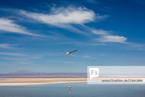 Bird flying over lake  San Pedro de Atacama  Chile