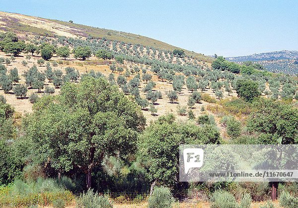 Olive groves. Las Villuercas  Caceres province  Extremadura  Spain.