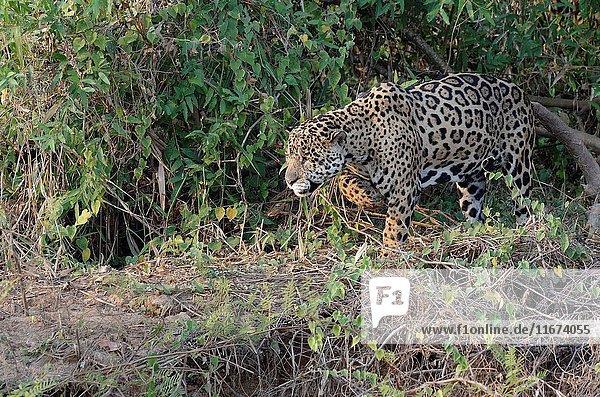 Male jaguar (Panthera onca) stalking on riverbank,  Cuiaba river,  Pantanal,  Mato Grosso State,  Brazil.