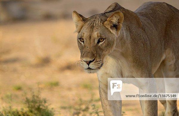 African lion (Panthera leo) - Female  Kgalagadi Transfrontier Park  Kalahari desert  South Africa/Botswana.