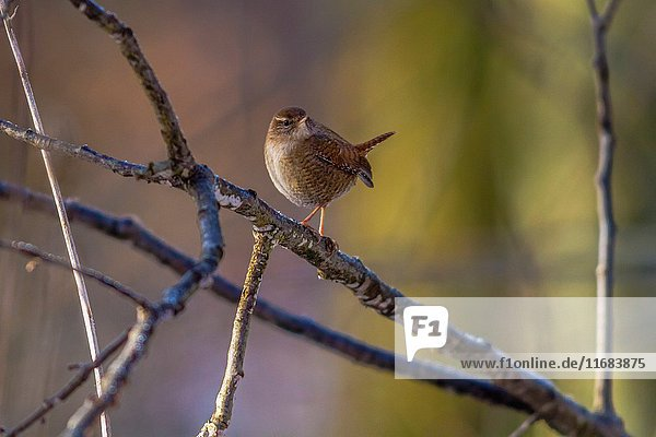 Germany  saarland  homburg - A little wren is searching for fodder.
