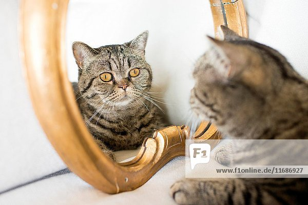 Cat looking at himself in mirror. Cute pet that admire his own looks.