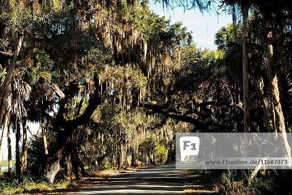 Trees filled with Spanish moss along a road in the Myakka River State Park  Florida