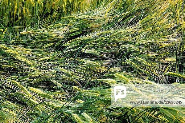 Inner Mongolia Arxan barley