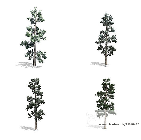 Piner trees  isolated on white background.