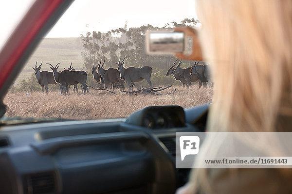 Woman photographing wildlife through vehicle window  Stellenbosch  South Africa