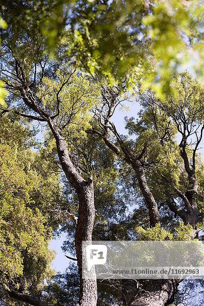 Baum  Los Arrayanes-Nationalpark  Bariloche  Argentinien