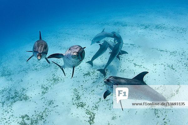 Delfine schwimmen in tropischem Wasser