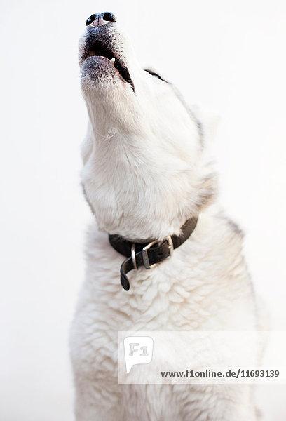 Heulen eines Sibirischen Huskys