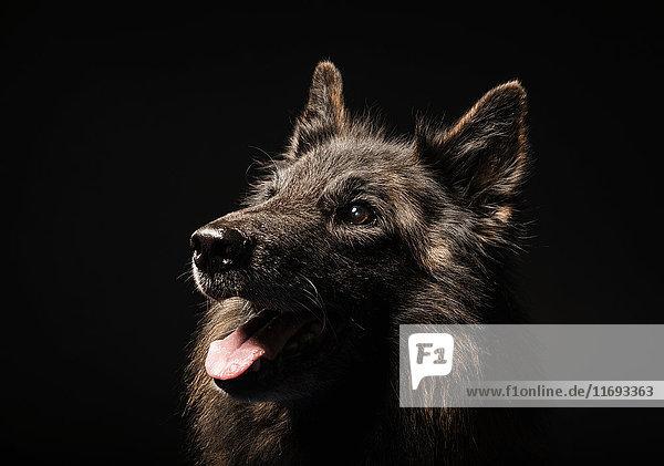 Studioporträt eines Wolfshundes mit ausgestreckter Zunge