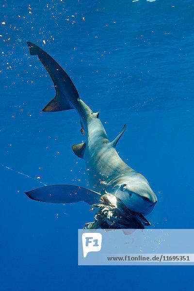 Unterwasser fressender Blauhai