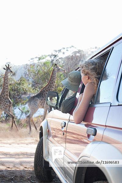 Women looking at giraffes from vehicle  Stellenbosch  South Africa
