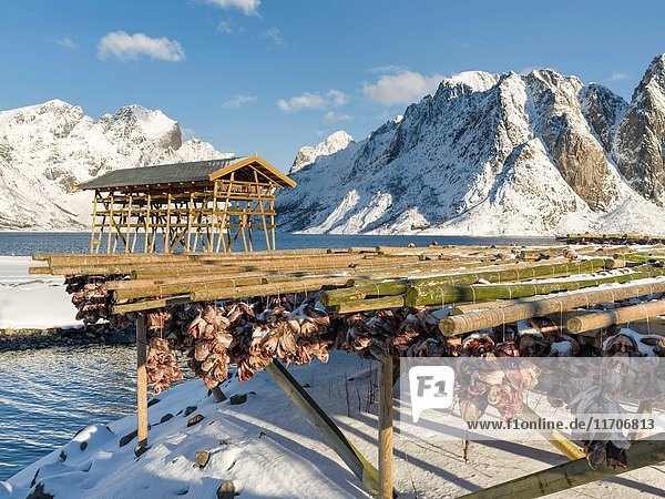 Drying of atlantic cod for stockfish on typical drying racks. Village Reine on the island Moskenesoya. The Lofoten Islands in northern Norway during winter. Europe  Scandinavia  Norway February.